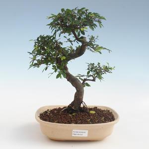 Indoor Bonsai - Ulmus parvifolia - Kleinblättrige Ulme 2191431
