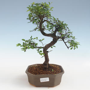 Indoor Bonsai - Ulmus parvifolia - Kleinblättrige Ulme 2191433