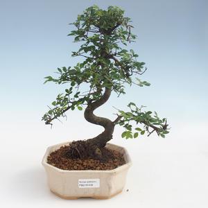 Indoor Bonsai - Ulmus parvifolia - Kleinblättrige Ulme 2191434