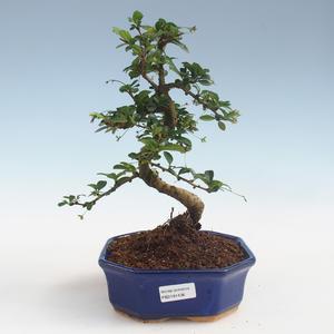 Innenbonsai - Carmona macrophylla - Tee fuki PB2191436