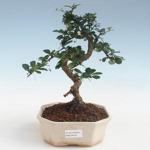 Innenbonsai - Carmona macrophylla - Tee fuki PB2191437