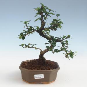 Innenbonsai - Carmona macrophylla - Tee fuki PB2191438