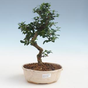 Innenbonsai - Carmona macrophylla - Tee fuki PB2191439