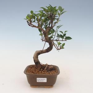 Innenbonsai - Ficus kimmen - kleiner Blattficus 2191447