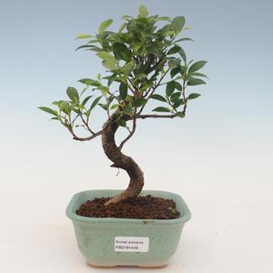 Innenbonsai - Ficus kimmen - kleiner Blattficus 2191449
