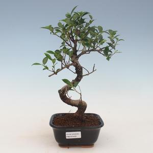Innenbonsai - Ficus kimmen - kleiner Blattficus 2191450