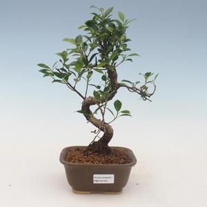 Indoor Bonsai - Ficus kimmen - kleiner Blattficus 2191451