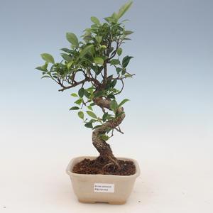 Indoor Bonsai - Ficus kimmen - kleiner Blattficus 2191452
