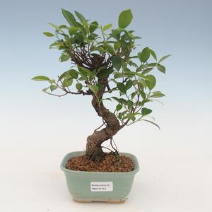 Indoor Bonsai - Ficus kimmen - kleiner Blattficus 2191453