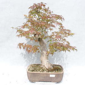 Indoor Bonsai -Ligustrum chinensis - Liguster 2191454
