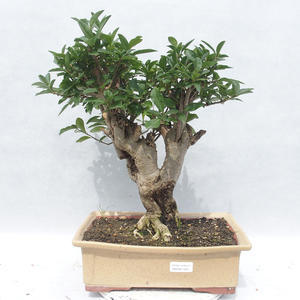 Indoor Bonsai -Ligustrum chinensis - Liguster 2191455