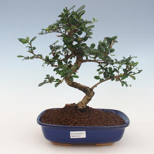 Innenbonsai - Carmona macrophylla - Tee fuki 2191457