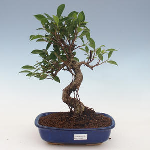 Innenbonsai - Ficus retusa - kleiner Blattficus 2191460