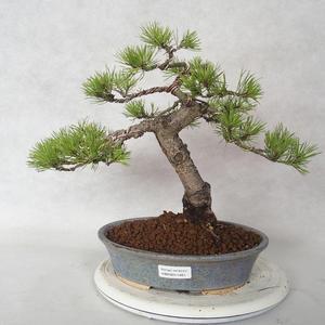 Innenbonsai - Ficus retusa - kleiner Blattficus 2191461