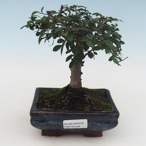 Indoor Bonsai - Ulmus Parvifolia-Kleine Blattulme PB2191538