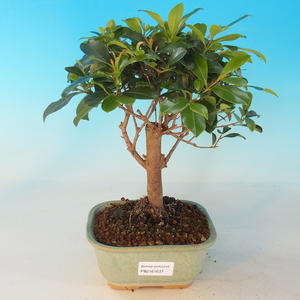 Zimmer Bonsai - australische Kirsche - Eugenia uniflora