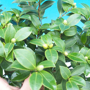 Zimmer Bonsai-Kamelie euphlebia-Camellia