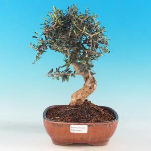 Zimmer Bonsai - Olea europaea sylvestris -Oliva Europäische drobnolistá