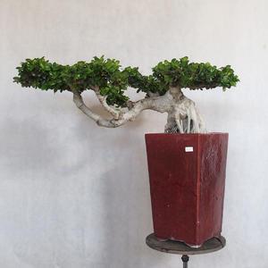 Zimmerbonsai - Ficus nitida - kleiner Ficus