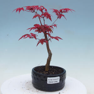 Zimmerbonsai - Zantoxylum piperitum - Pepřovník
