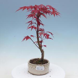 Zimmer-Bonsai - Olea europaea sylvestris - Olivgrüne europäische Bazillen