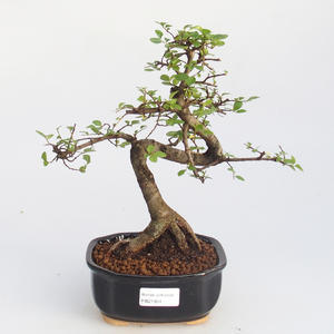 Raum-Bonsai - Ulmus parvifolia - Kleine Elm
