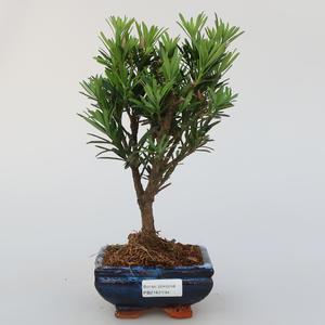 Zimmer Bonsai - Podocarpus - Stein Tausend