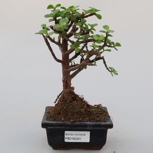 Zimmer Bonsai - Portulakaria Afra - Tlustice