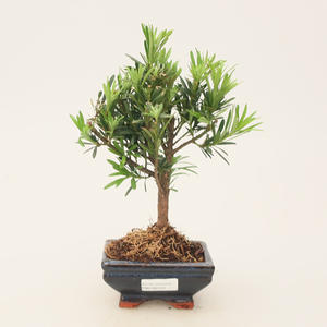 Zimmer Bonsai - Podocarpus - Stone Thousand