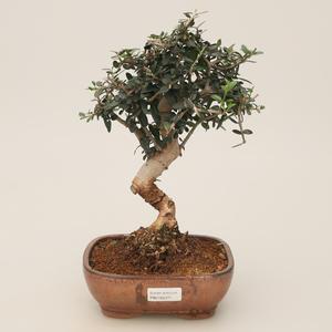 Raum-Bonsai - Olea europaea sylvestris - Olivgrüne europäische Bazillen