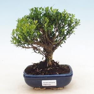 Pinus thunbergii - Thunbergova-Kiefer