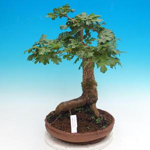 Bonsai im Freien - Babygelee - Acer campestre