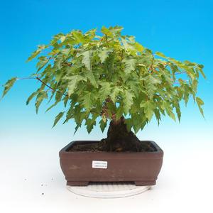 Bonsai im Freien - Acer ginala - Feuerahorn