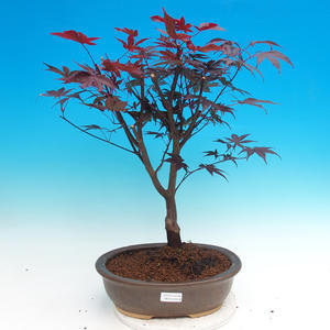 Bonsai im Freien - Acer Palme. Atropurpureum-Daphnien