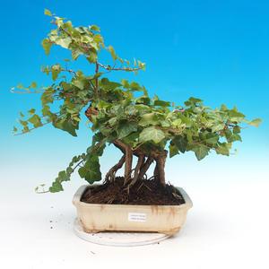Outdoor bonsai- Hedera - Efeu