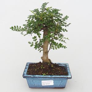 Zimmerbonsai - Zantoxylum piperitum - Pfeffer