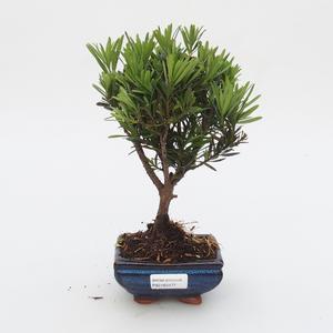 Zimmer Bonsai - Podocarpus - Stein Thousand