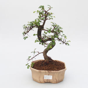Zimmer Bonsai - Chinesische Ulme - Malolistý Ulme