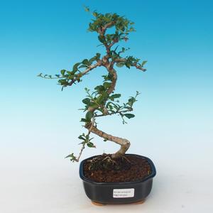 Innenbonsai - Carmona macrophylla - Tee fuki 405-PB2191250