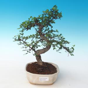 Indoor Bonsai - Ulmus parvifolia - Kleine Blattulme 405-PB2191255