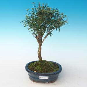 Innenbonsai - Serissa foetida Variegata - Baum von tausend Sternen PB2191259