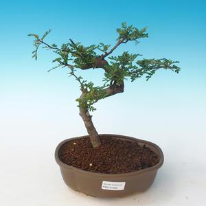 Indoor Bonsai - Zantoxylum piperitum - Pfefferbaum PB2191262