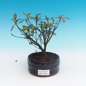 Outdoor-Bonsai - Rhododendron sp. - Azaleenrosa