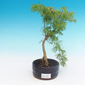 Outdoor-Bonsai-Pseudolarix amabis-Pamir