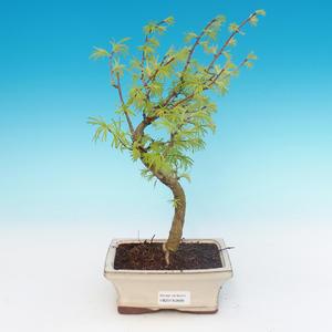 Bonsai im Freien - Pseudolarix amabilis - Pamodřín