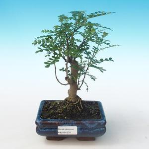 Indoor Bonsai - Zantoxylum piperitum - Pfefferbaum PB2191270