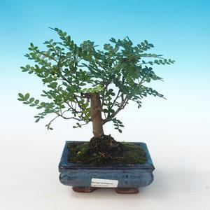 Indoor Bonsai - Zantoxylum piperitum - Pfefferbaum PB2191272