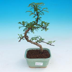 Zimmer Bonsai - Zantoxylum piperitum - Pepřovník