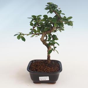 Innenbonsai - Carmona macrophylla - Tee fuki PB2191304