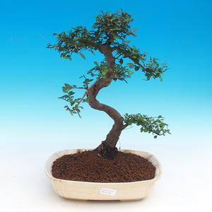 Zimmer-Bonsai - Chinesische Ulme - Malolistý elm